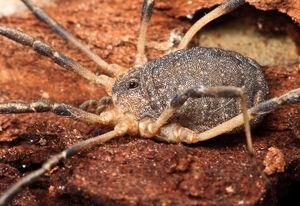 Eumesosoma roeweri - Junction TX - Hedin