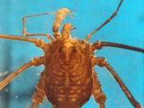 Agoristeninae