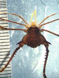 Multumbo dimorphicus (1)