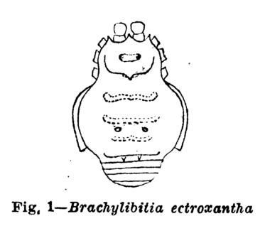File:Brachylibitia ectroxantha Mello-Leitão, 1941.png