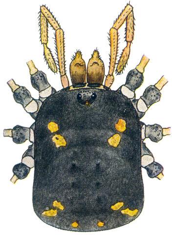 File:Paranemastoma quadripunctatum (Perty, 1833) by Silhavy 1956a.jpg