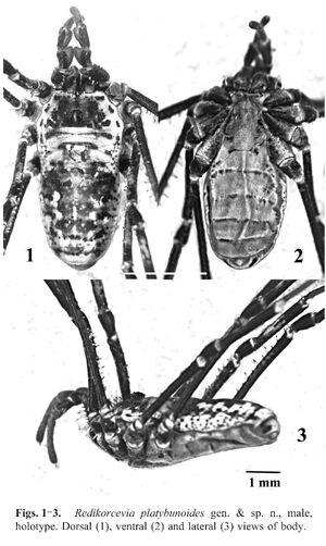 Redikorcevia platybunoides Snegovaya & Starega 2008a - fig 1