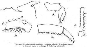 Biacumontia variegata
