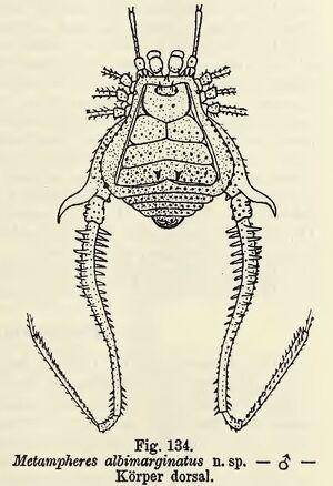 Metampheres albimarginatus Roewer, 1913 fig 134