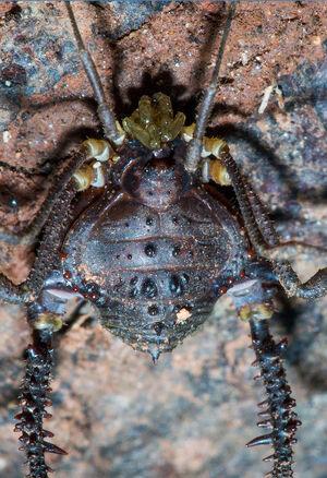Mischonyx cuspidatus male flickr