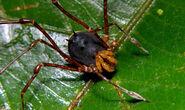 Manaosbiidae