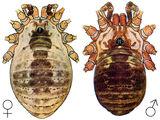 Sclerosomatidae