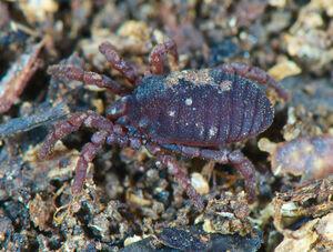 DSC 5858 Ogovea cameroonensis at 500 px