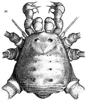 Lichirtes hexapodoides
