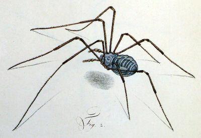 Opilio parietinus female by Herbst 1798