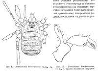Giljarovia tenebricosa (Redikortsev, 1936)
