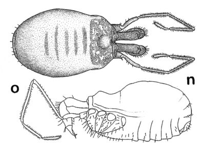 Nemaspela abchasica (Lyovushkin & Starobogatov, 1963) by Martens 2006