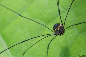 Jussara luteovariata (Sclerosomatidae) b