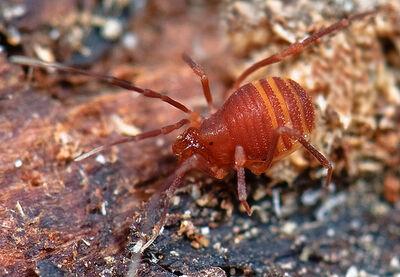 Phalangodoidea