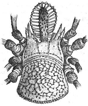 Ortholasma sbordonii Šilhavý, 1973 Mexico cave