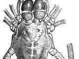 Arucillus hispaniolicus