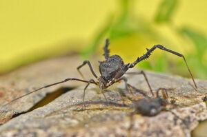 Mischonyx cuspidata male female 2