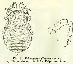 Triaenonyx dispersus