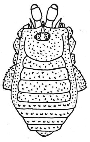 Attakattius spinifrons Roewer, 1929e