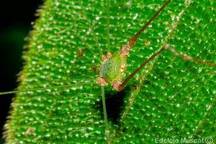 Metarthrodes longipes Ubatuba