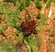 Heteropachylus inexpecabilis m