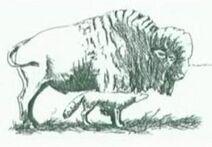 Coyote Races Buffalo