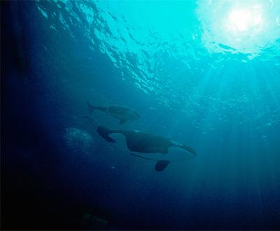 2dd443ad9d0749d2beadc9a4647b2118 pic-sw-killer-whale-diet-09--400x330