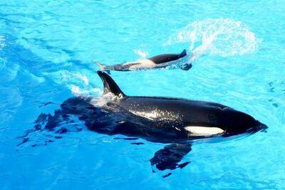 Killer-whale-baby-seaworld-san-diego-500x333