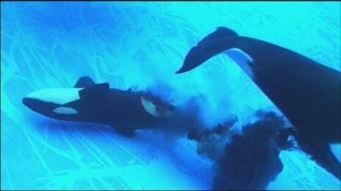 シャチの赤ちゃん誕生 名古屋港水族館で初