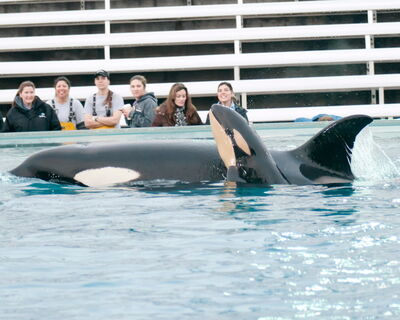 Killer Whale Kasatka Gives Birth SeaWorld xRMIhM95ryKl