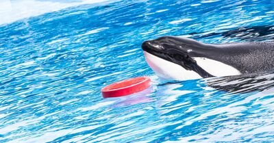 Bce2319d5a0246f7a14ff189be286c2b tilikum-health-update