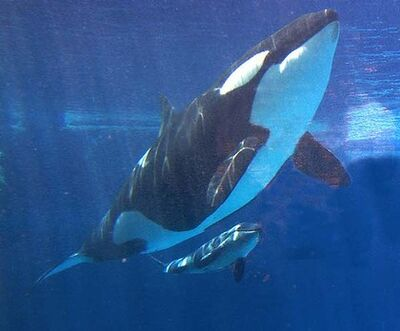 Killer-whale-420x0
