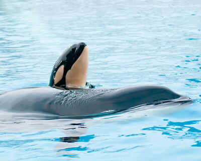 Killer Whale Kasatka Gives Birth SeaWorld OfilMBHY Uhl