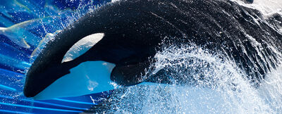 696234fc151b4993822f76bbbd931475 pic-sw-killer-whale-adaptations-03--940x380
