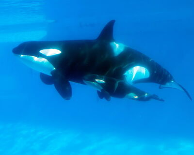 Killer Whale Kasatka Gives Birth SeaWorld qdgqb1uX0mrl
