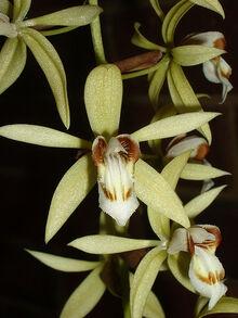 Coel. rochussenii