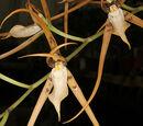 Brassia jipijapensis