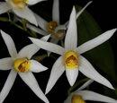 Epigeneium acuminatum