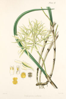 Brassavola nodosa plate