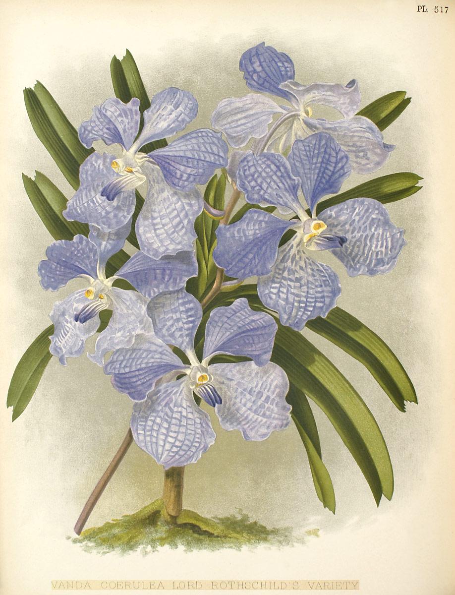 Vanda Orchids Wiki Fandom Powered By Wikia Limbata Coerulea Plate