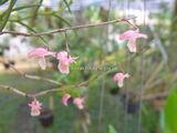 Dendrobium acerosum