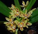 Tuberolabium rhopalorrhachis