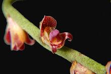 Bulbophyllum granulosum
