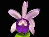 Cattleya intermedia 'Crownfox'