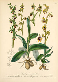 Ophrys lutea plate