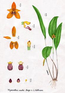 Myoxanthus ruschii plate