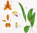 Myoxanthus
