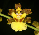Oncidium panamense