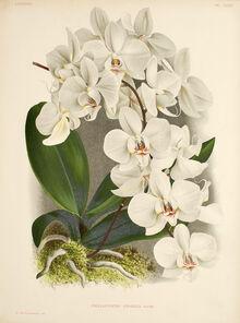 Phalaenopsis amabilis plate