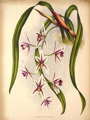 Cym aloifolium plate